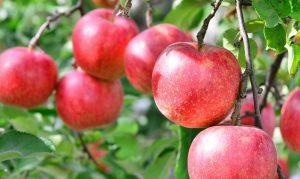 青森はリンゴ生産量日本一